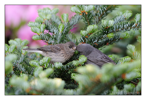 Adult Carolina Junco feeding a fledgling in the Roan Highlands.