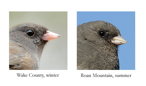 Bill differences between juncos that migrate to North Carolina for winter and those that breed in the high mountains of North Carolina.
