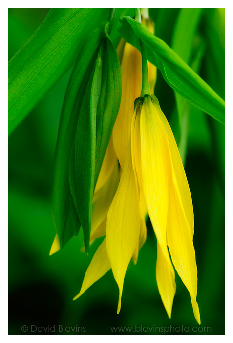 Largeflower Bellwort